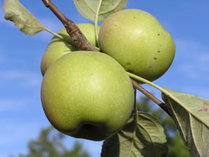 Granny Smith organic heirloom  apple tree for sale