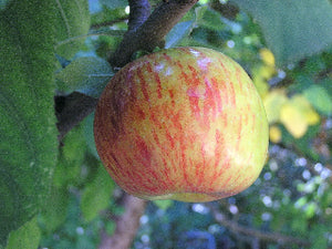 Gravenstein organic heirloom apple tree for sale