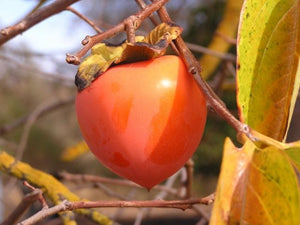 Hachiya Persimmon tree for sale