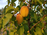 Harcot Apricot tree for sale