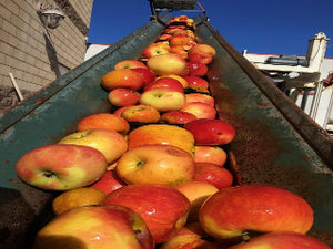 Redstreak cider apple tree for sale