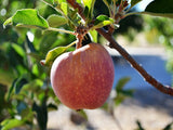 Hawkeye organic heirloom apple tree