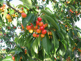 Governor Wood organic heirloom cherry tree for sale