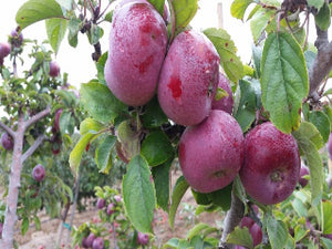 Holiday organic heirloom apple trees