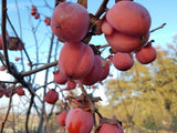 Honan Red heirloom persimmon trees