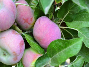 Honeycrisp certified organic apple trees for sale