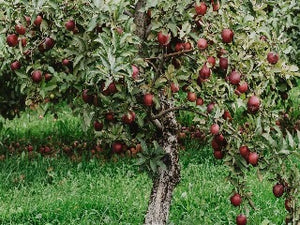 hyslop crab apple trees of antiquity