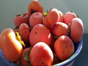 Imoto heirloom persimmon tree for sale