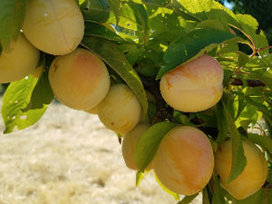 Inca heirloom plum tree