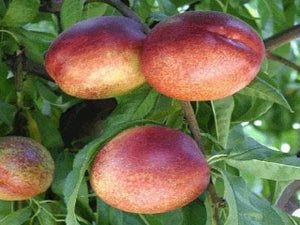 Independence Nectarine tree for sale