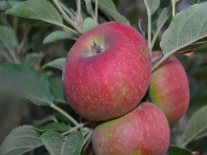 Ingrid Marie heirloom apple tree for sale