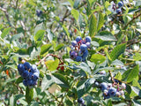 Jersey Blueberry bush for sale