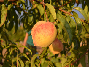 J.H. Hale heirloom Peach tree for sale