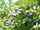 Jubilee Blueberry bush for sale
