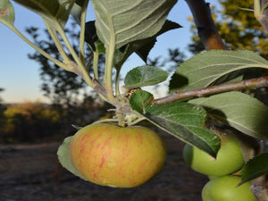 Kerry Irish Pippin organic heirloom apple trees