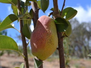Kieffer heirloom pear tree for sale