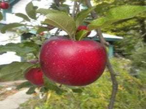 King David organic heirloom apple tree for sale