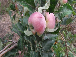 reinette de reinettes heirloom apple tree