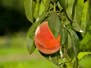 La Feliciana heirloom peach trees