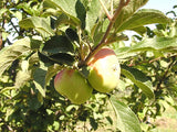 Lady Apple Tree for sale