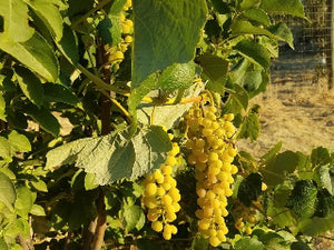 Lakemont Grape vine for sale