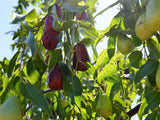 Lang Jujube tree for sale