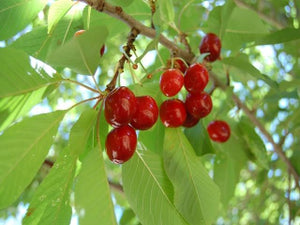Lapins heirloom Cherry Tree for sale
