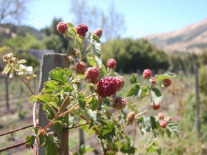 Latham Red Raspberries canes