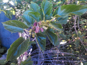 Lavender Mulberry tree for sale