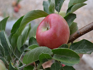 Laxtons Fortune certified organic apple tree for sale