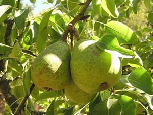 Louise Bonne d'Jersey heirloom pear tree