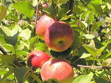 Macoun certified organic heirloom apple tree