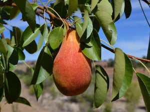 Magness certified organic pear trees for sale