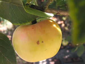 Maiden Blush organic heirloom apple tree