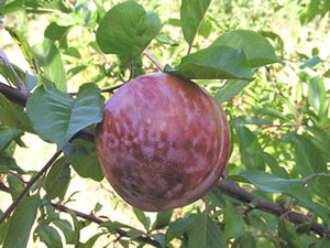 Mariposa heirloom plum tree for sale