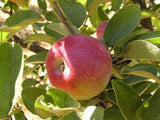 Mcintosh  certified organic apple tree for sale