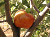 Melrose organic heirloom apple tree