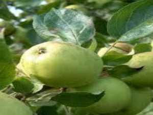 Michelin cider apple tree for sale