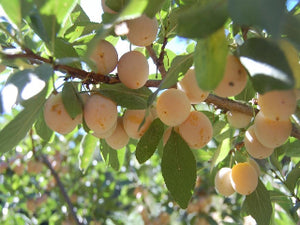 Mirabelle heirloom plum tree for sale