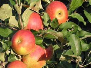 Monark organic heirloom apple tree for sale