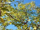 Monterey  Almond tree for sale