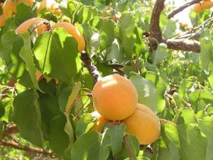 Moorpark heirloom apricot tree for sale