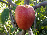 Morgan low chill apple tree for sale