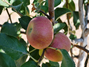 Mother organic heirloom apple tree for sale