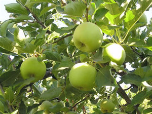 Mutsu pie apple tree