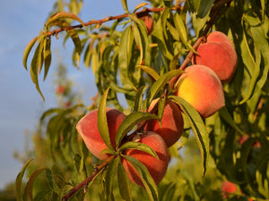 Nectar heirloom peach tree for sale