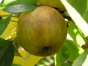 Nehou cider apple tree for sale