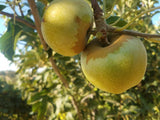 Newtown Pippin heirloom apple tree for sale
