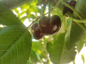 Noir de Chavannes heirloom cherry tree