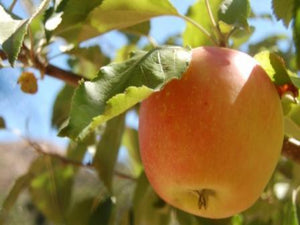 Hubbardston's  Nonsuch heirloom apple tree